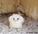 Romeoville Peregrine Webcam