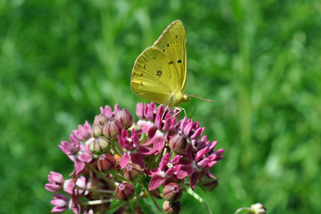 A yellow butterfly with black spots sitting atop a bunch of small pink flowers