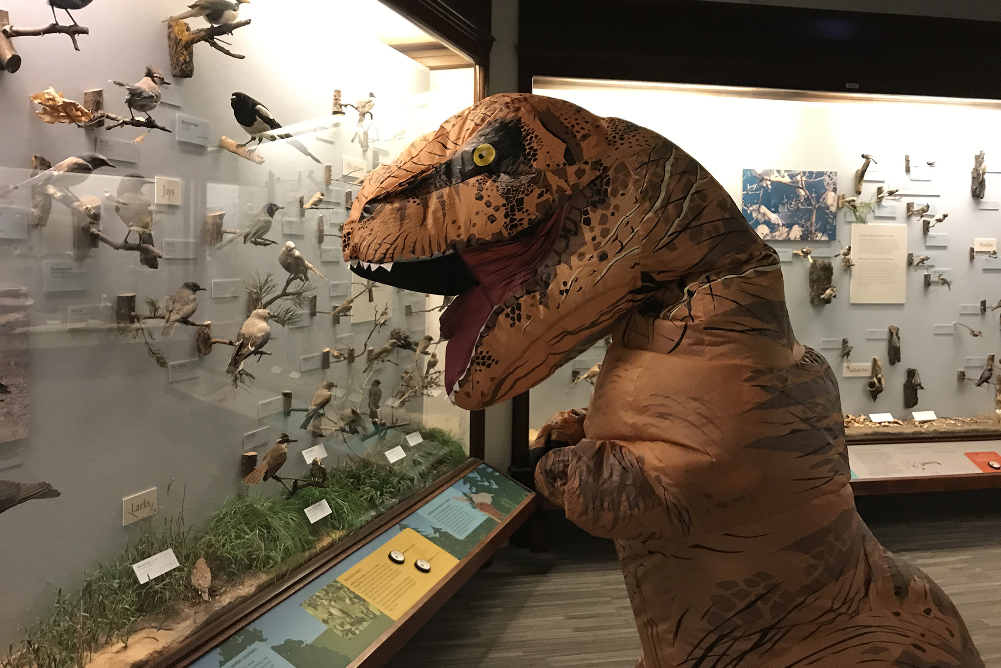 A person wearing an inflatible T. rex costume stands in front of a case containing an array of taxidermy birds.
