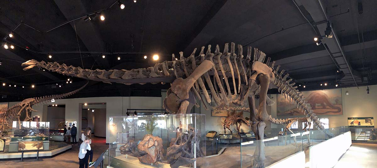 Panoramic view of a very long dinosaur skeleton, surrounded by other bones in a museum gallery. Two visitors stand several feet below the dinosaur's neck.