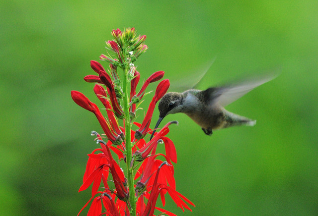 Bright red flower with hummingbird next to it