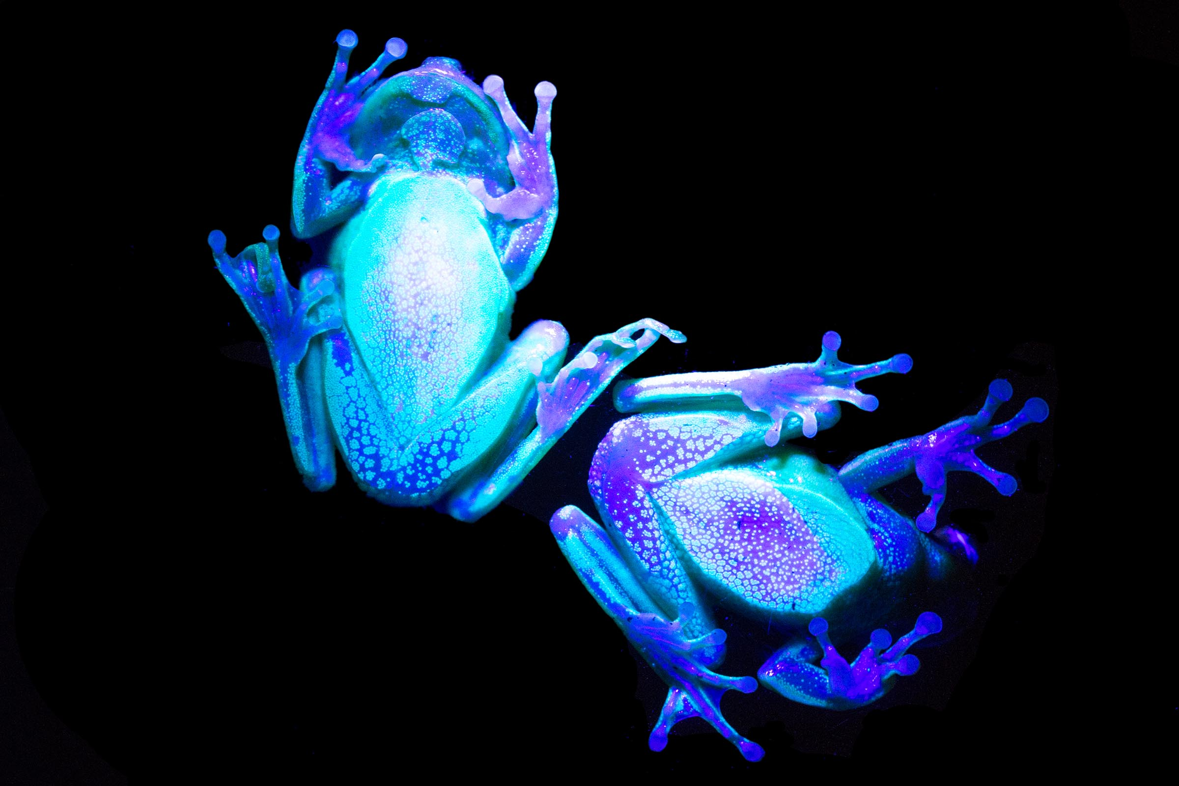 Two frogs seen from below a glass surface, under a black light. They fluoresce shades of bright blue and purple.