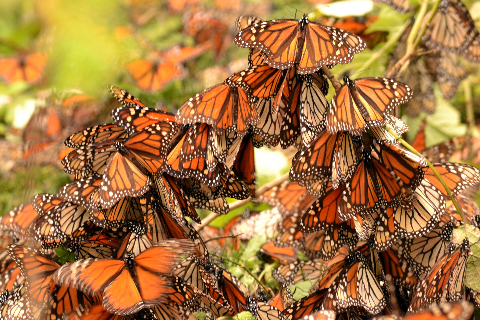 Dozens of orange and black monarch butterflies perch on tree branches, practically perching on top of one another. Some are blurred as they flap their wings.