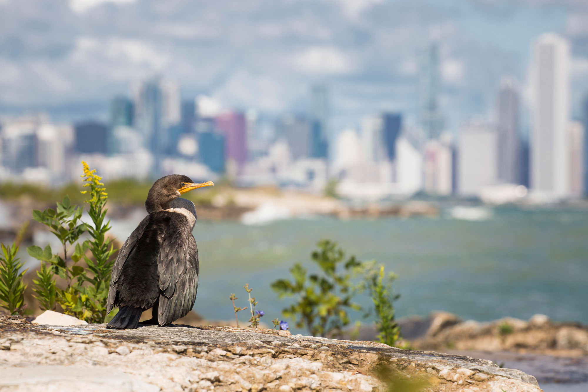 A water bird perches on a rock near a few small plants. A body of water and the Chicago skyline are out of focus in the far distance.