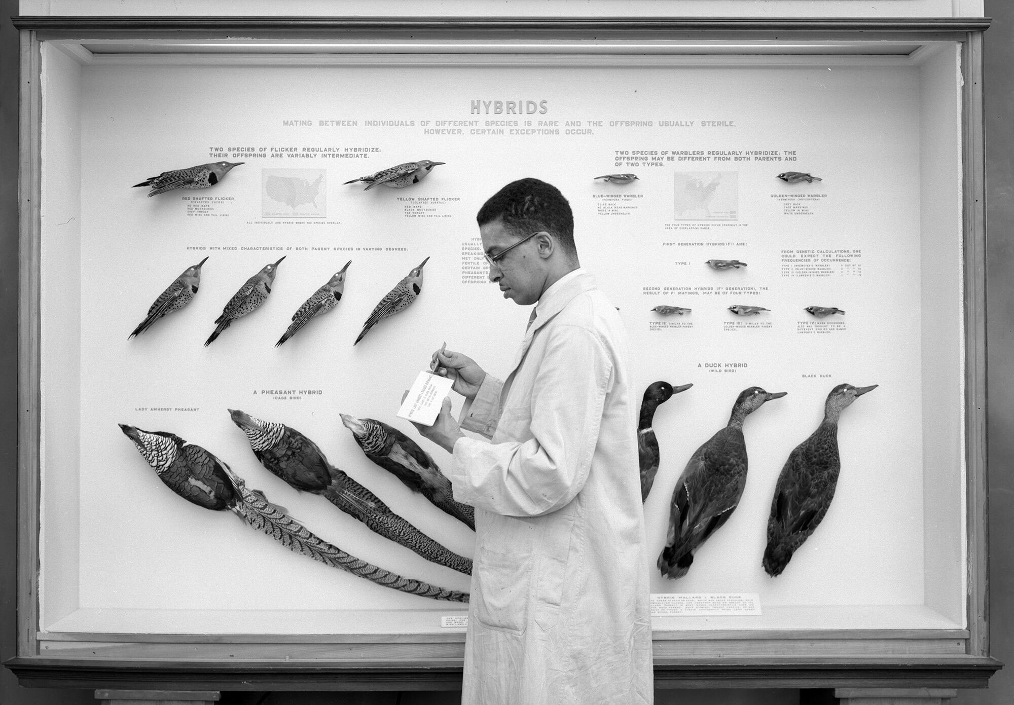 Carl Cotton, wearing a lab coat, stands in front of a display of bird specimens. He looks down at a card he's holding in his hand.