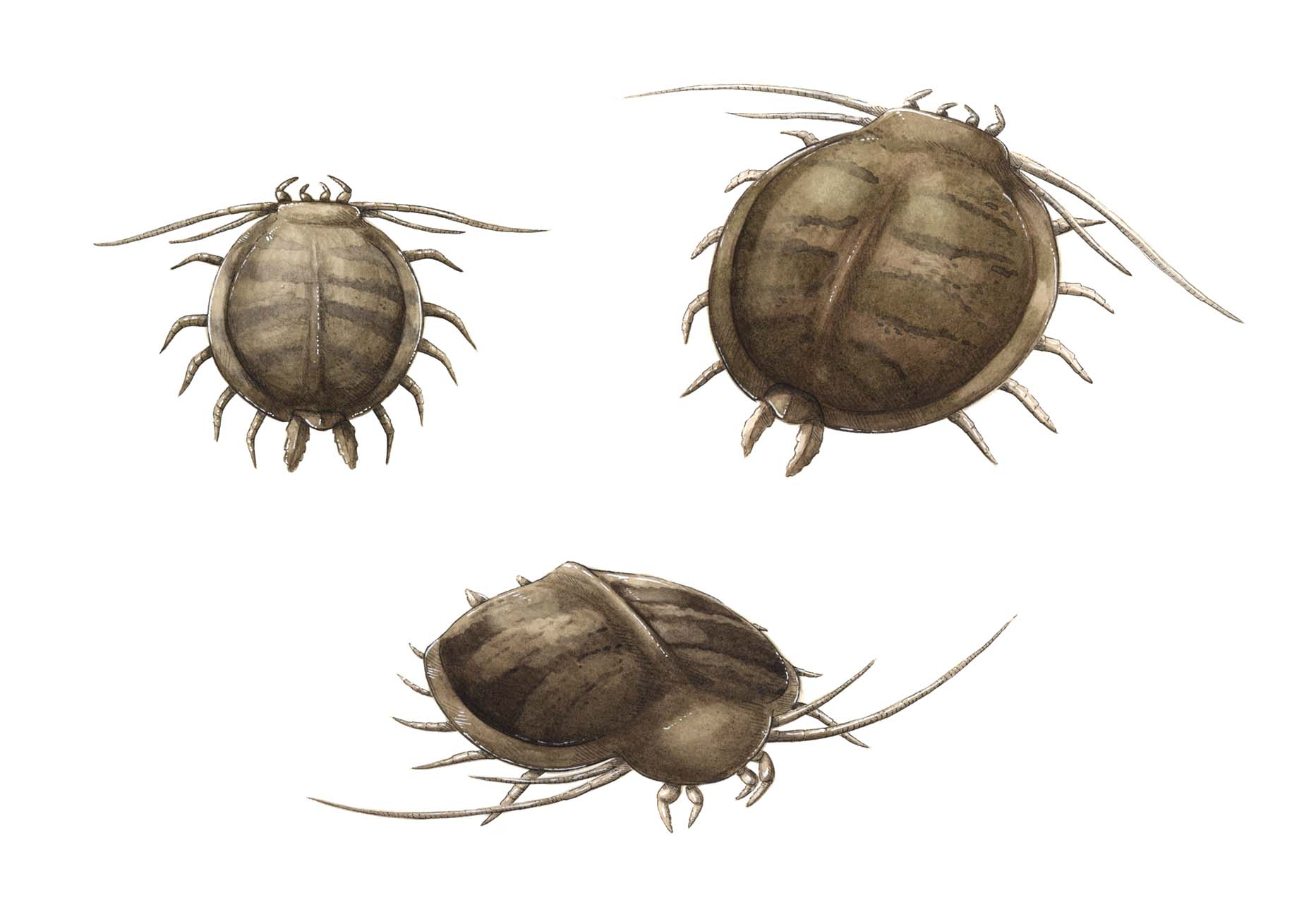 Illustration of small brown, crab-like animals