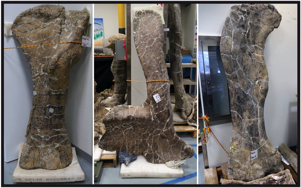 Three large dinosaur leg bones in a lab or storage area