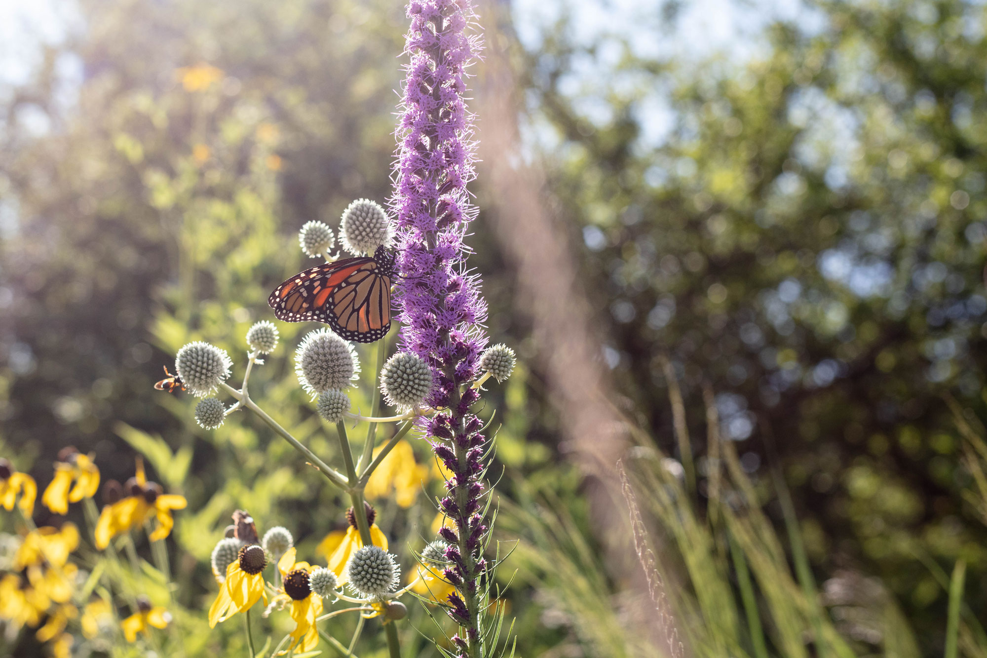 A monarch butterfly perches on a purple blazing star flower on a sunny day. Black-eyed Susans and other prairie plants are in the background.