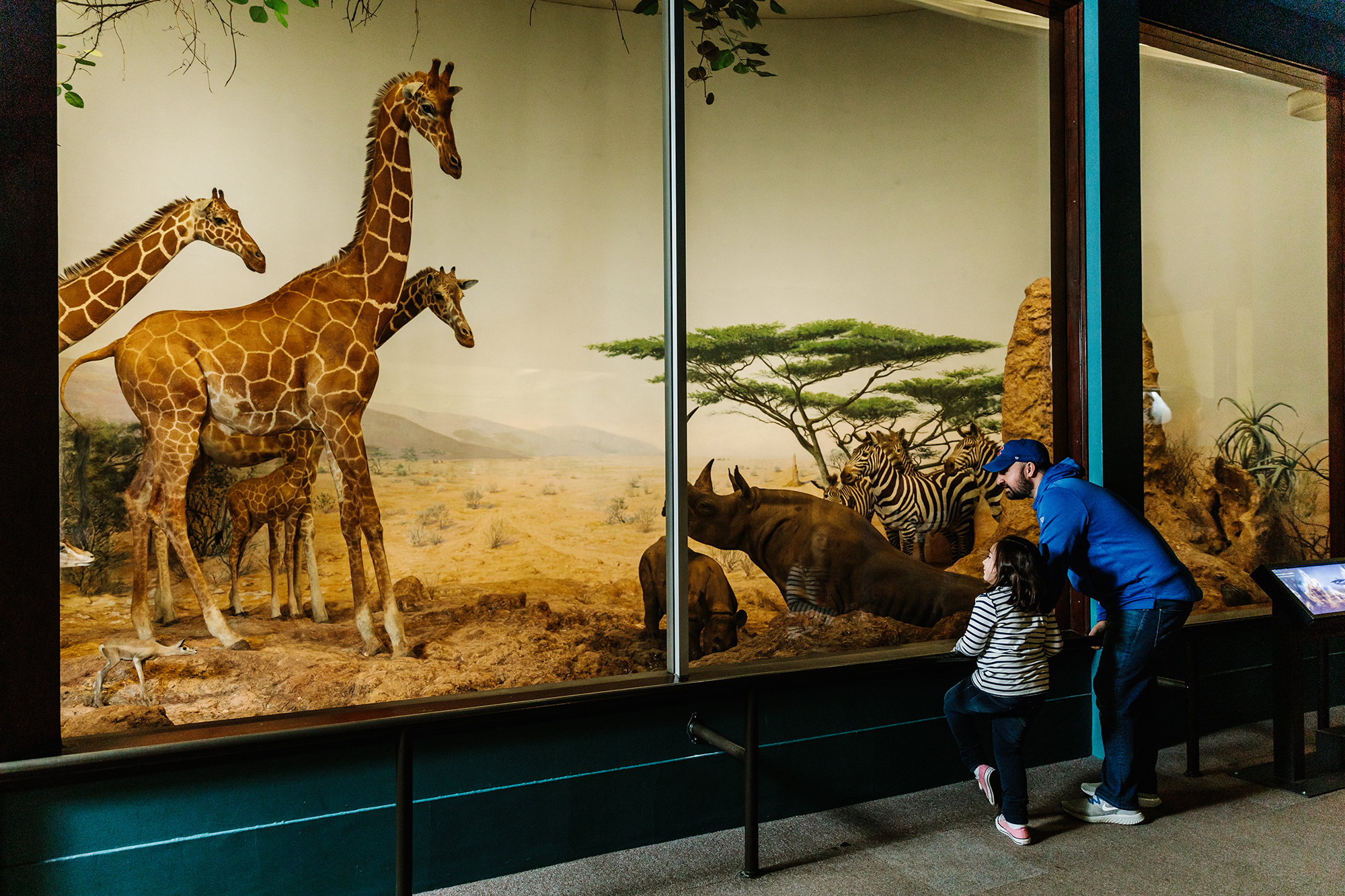 Museum visitors viewing a diorama featuring giraffes, rhinoceroses, and zebras.