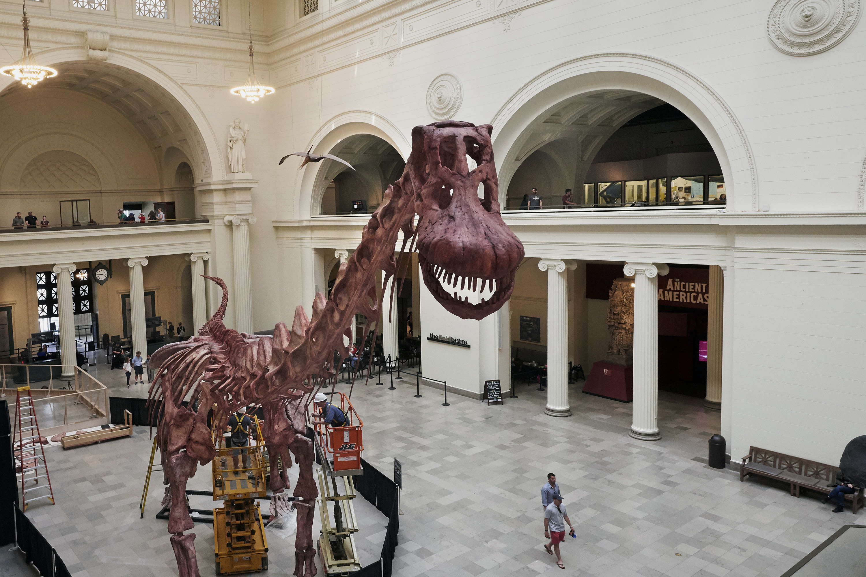 Looking straight on at the smiling, toothy skull of a large dinosaur. Its long neck and body extend downwards into the museum's main hall. A man wearing a hard hat stands on a lift and peers closely at one of the legs.