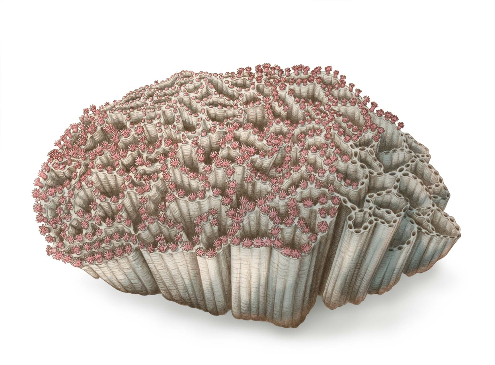 Illustration of an intricate coral with pink polyps