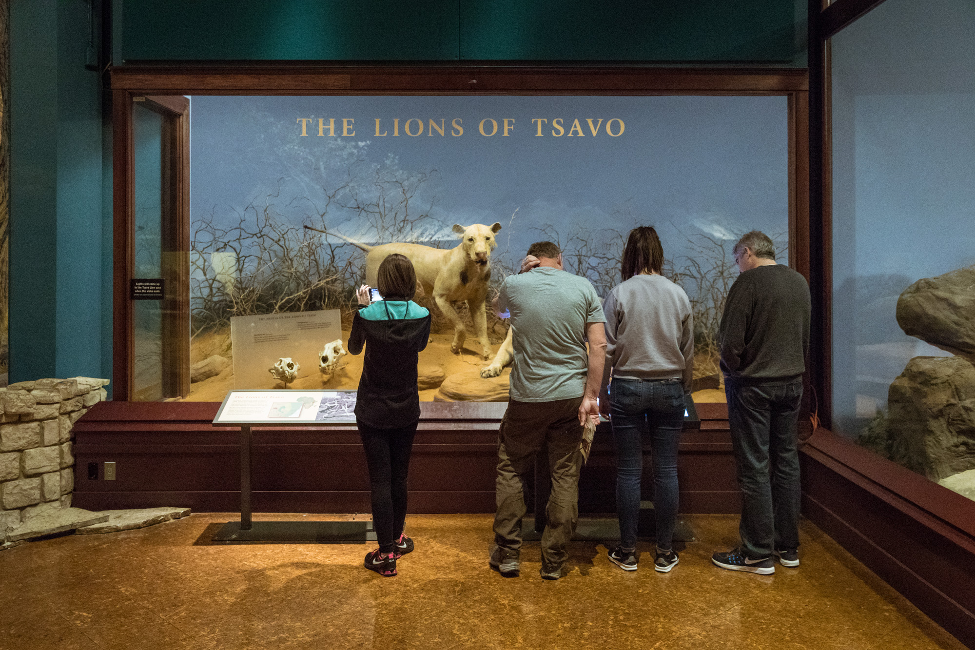 Four visitors stand together in front of two Lions of Tsavo dioramas. The leftmost visitor takes a picture of two lion skulls displayed on pedestals near the lions inside the diorama case.
