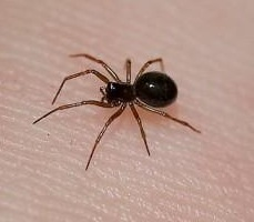 A tiny spider called an erigonine on a person's fingertip is a good illustration of these spiders' size.