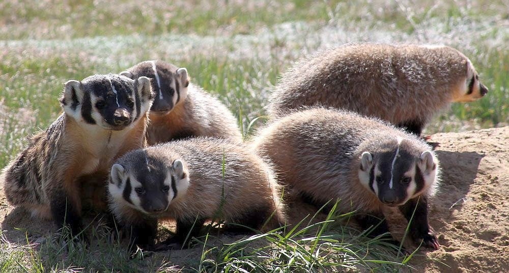Five badgers with brown fur and black and white striped faces