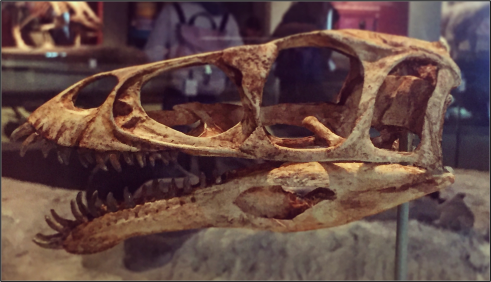 An elongated animal skull with many pointed teeth sticking out beyond the jaw