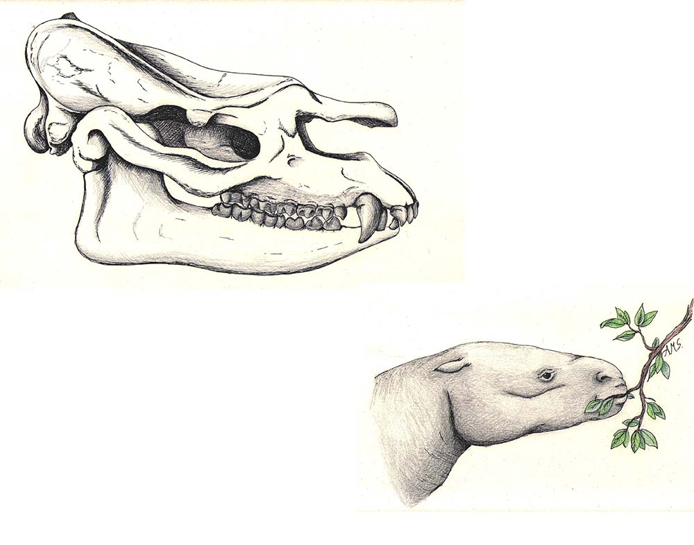 Illustration of an animal skull and the head of a hippo-like animal eating leaves off a branch