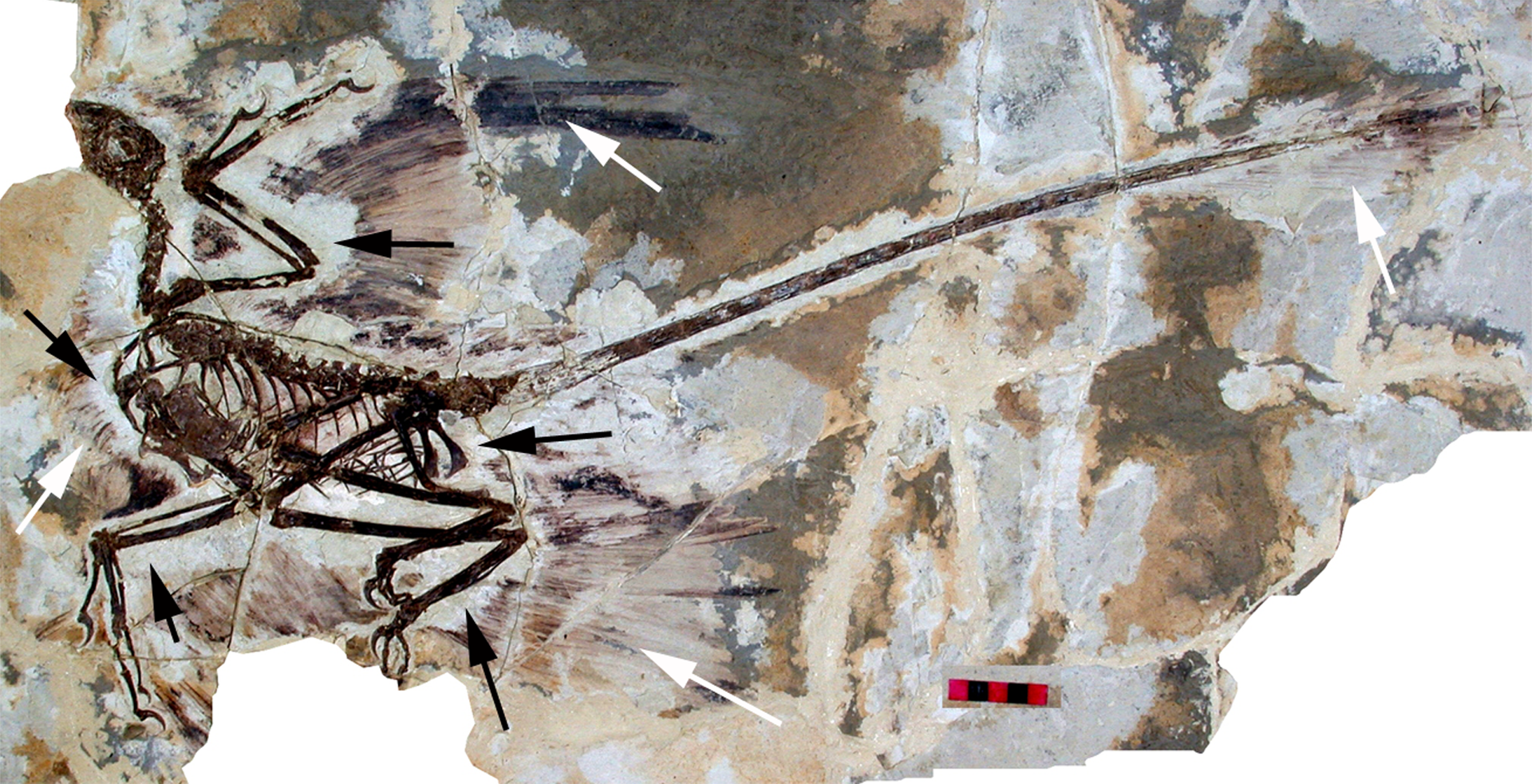 Gray and brown fossil of what appears to be a skeleton of a bird-like animal with feathers and a tail