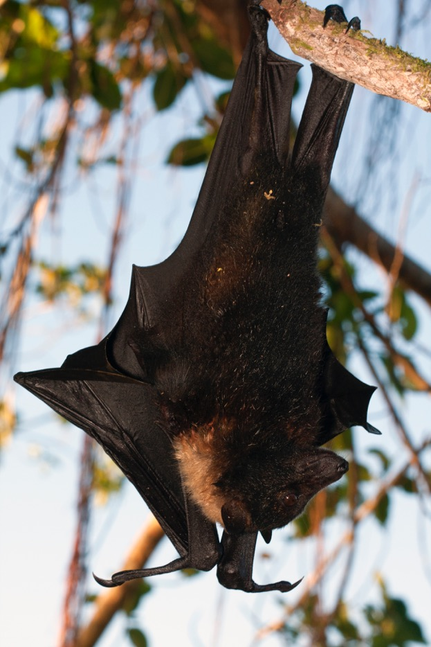 A large black and brown bat hanging upside down from a tree branch