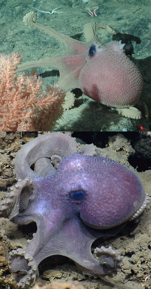 Two octopuses on the ocean floor, one pink and one purple, both with small bumps covering their heads