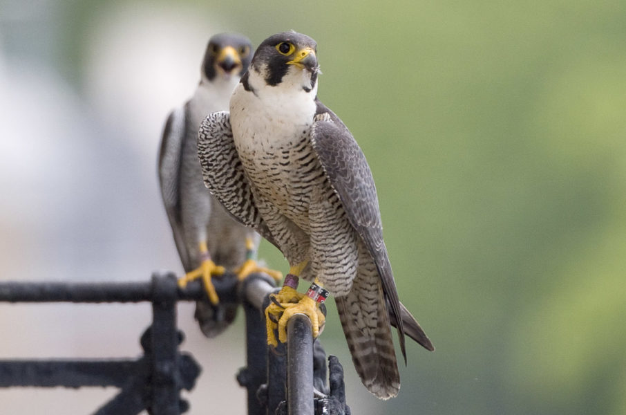 Two large brown and white hawk-like birds perched on a railing