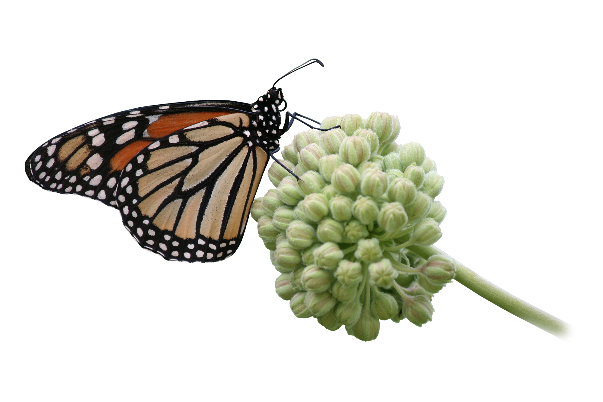 A monarch butterfly perched on a cluster of milkweed flowers.