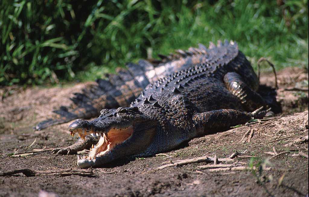 A large crocodile with mouth open lying in the sun