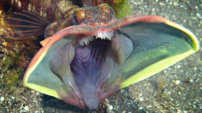 Fish with large mouth and teeth exposed