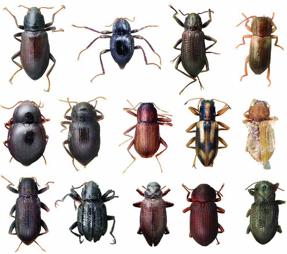 Rows of different metallic beetles, seen close up against a white background