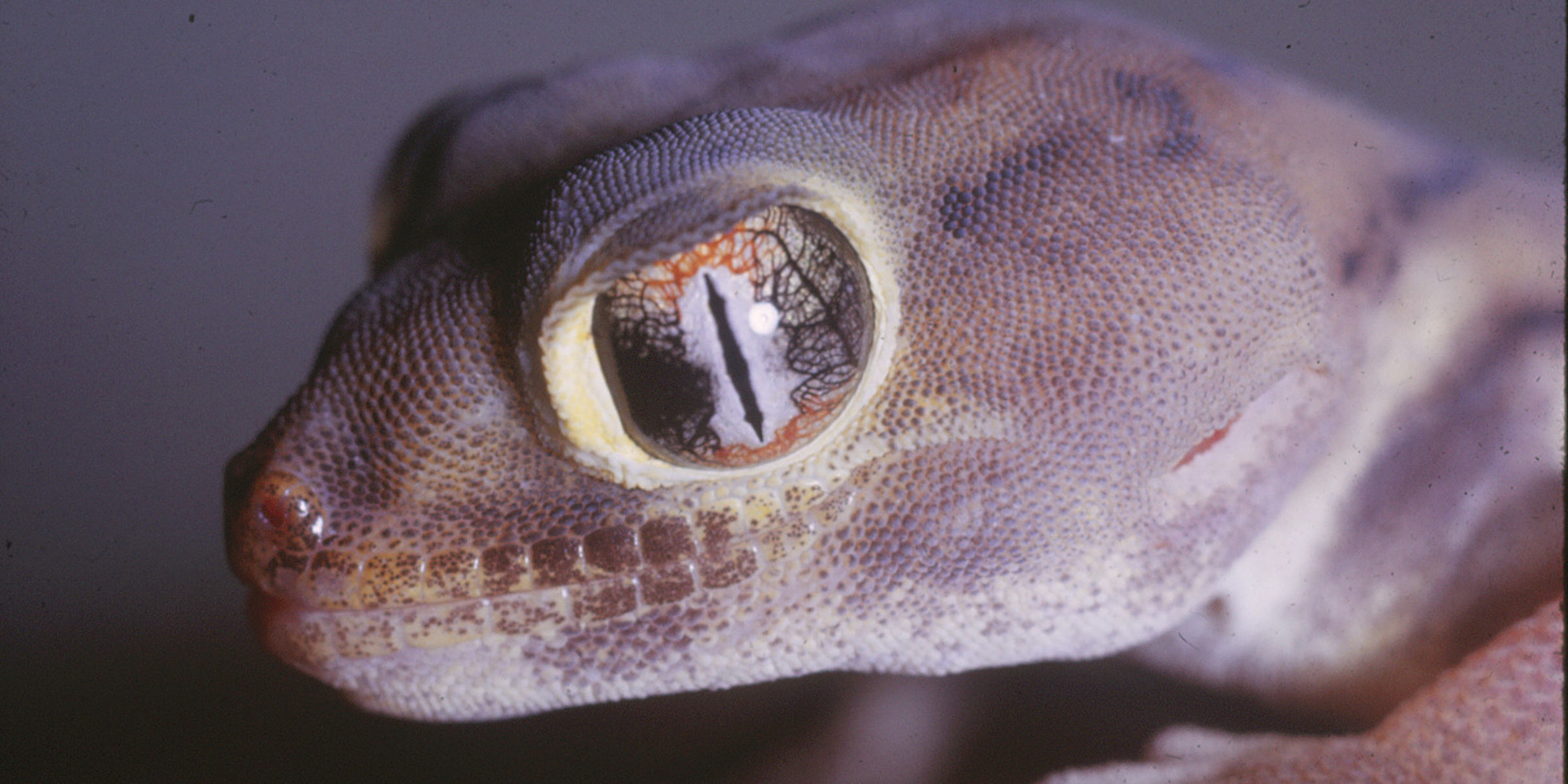 Close-up view of a gecko showing only its head and frog-like eyes.