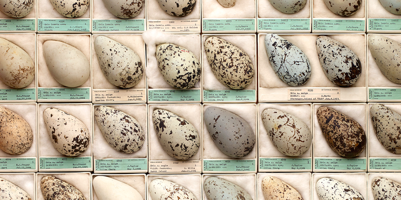 Eggs from The Field Museum's collection, each in its own tray, aligned in rows.