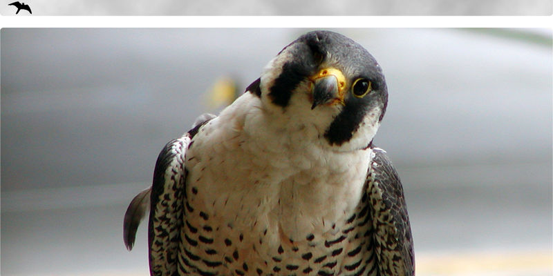 Peregrine Injury Banner