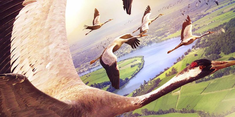 Illustration of Canada geese in flight