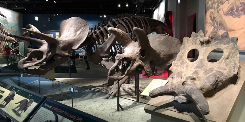 Three dinosaur skeletons with different horns on their heads, lined up in an exhibition