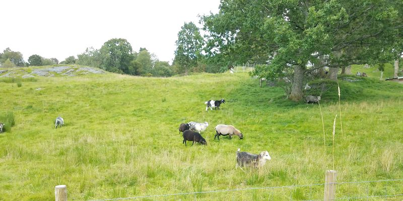 A bright green field with a large leafy tree and sheep grazing