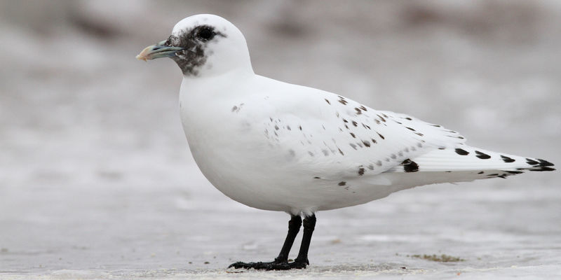 Ivory Gull by Nathan Goldberg