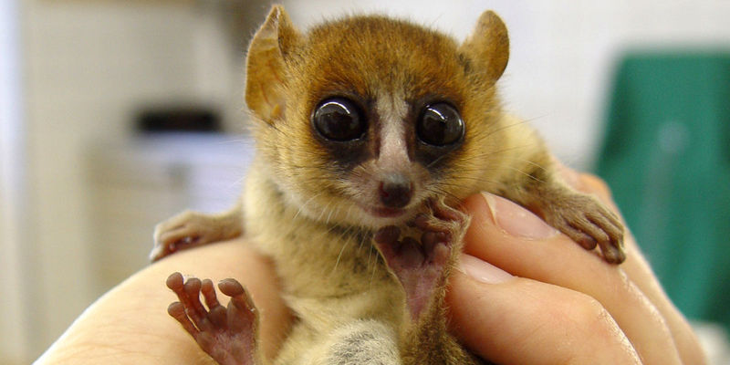 A tiny primate, the Goodman's mouse lemur, held in a person's hand.