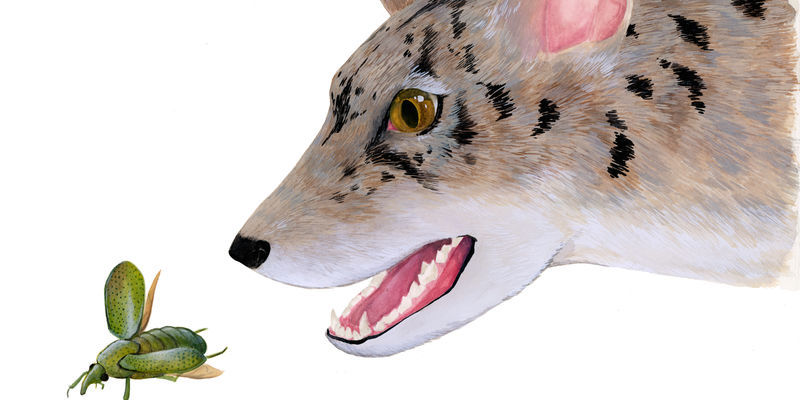 An artist's rendering of an prehistoric carnivore called a beardog, with it's mouth open reaching for an insect.