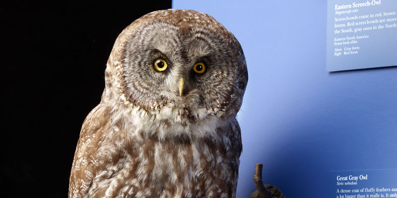A stuffed and mounted Great Grey Owl, as seen in The Hall of Birds.