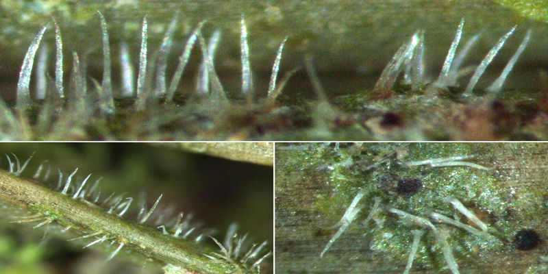 The tiny lichen Gyalectidium setiferum is spreading in central Europe on suitable evergreen plants due to global warming.