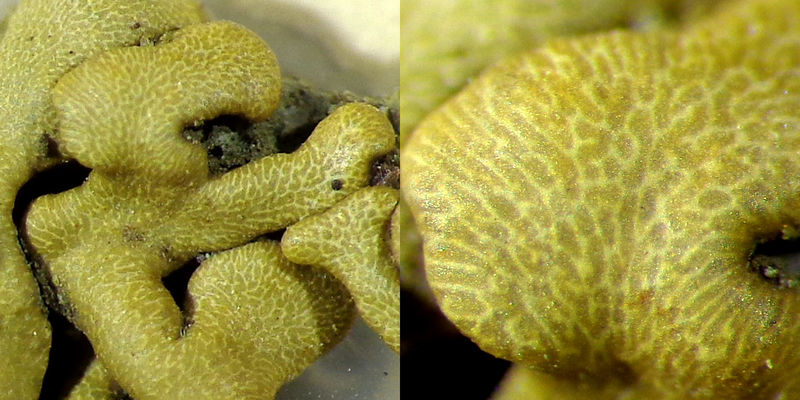 """A recently discovered, yet undescribed """"window"""" lichen from Hawaii"""