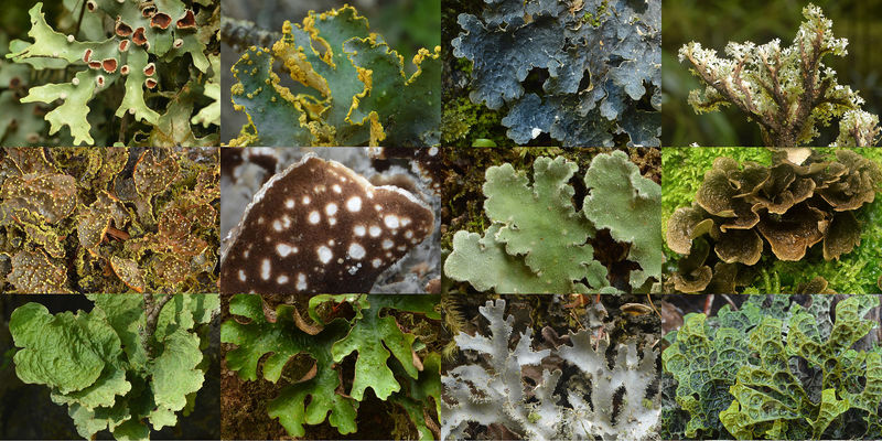 A selection of charismatic Lobariaceae lichens in New Zealand
