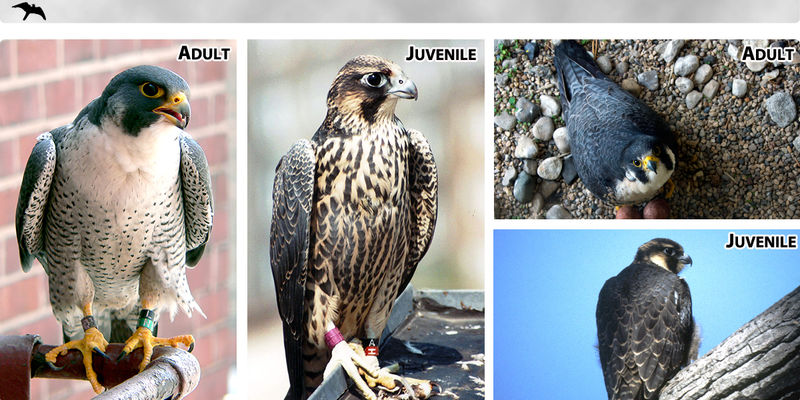 Peregrine Status and Monitoring