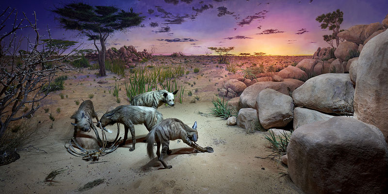 Project hyena diorama the field museum