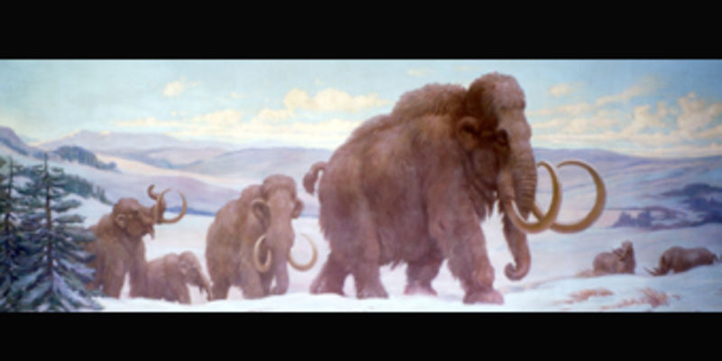 A Charles Knight mural depicting an ice age scene with a herd of woolly mammoths and two woolly rhinoceros making their way across the frozen plain.