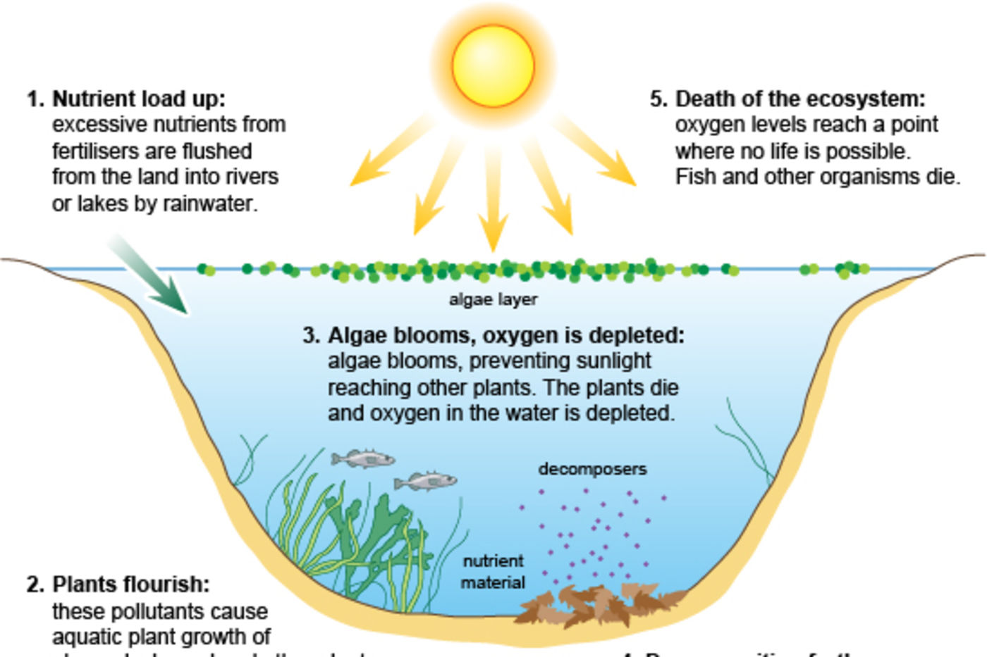 An explanatory graphic showing the process of eutrophication, with the sun shining, nutrients entering the water, and fish dying.