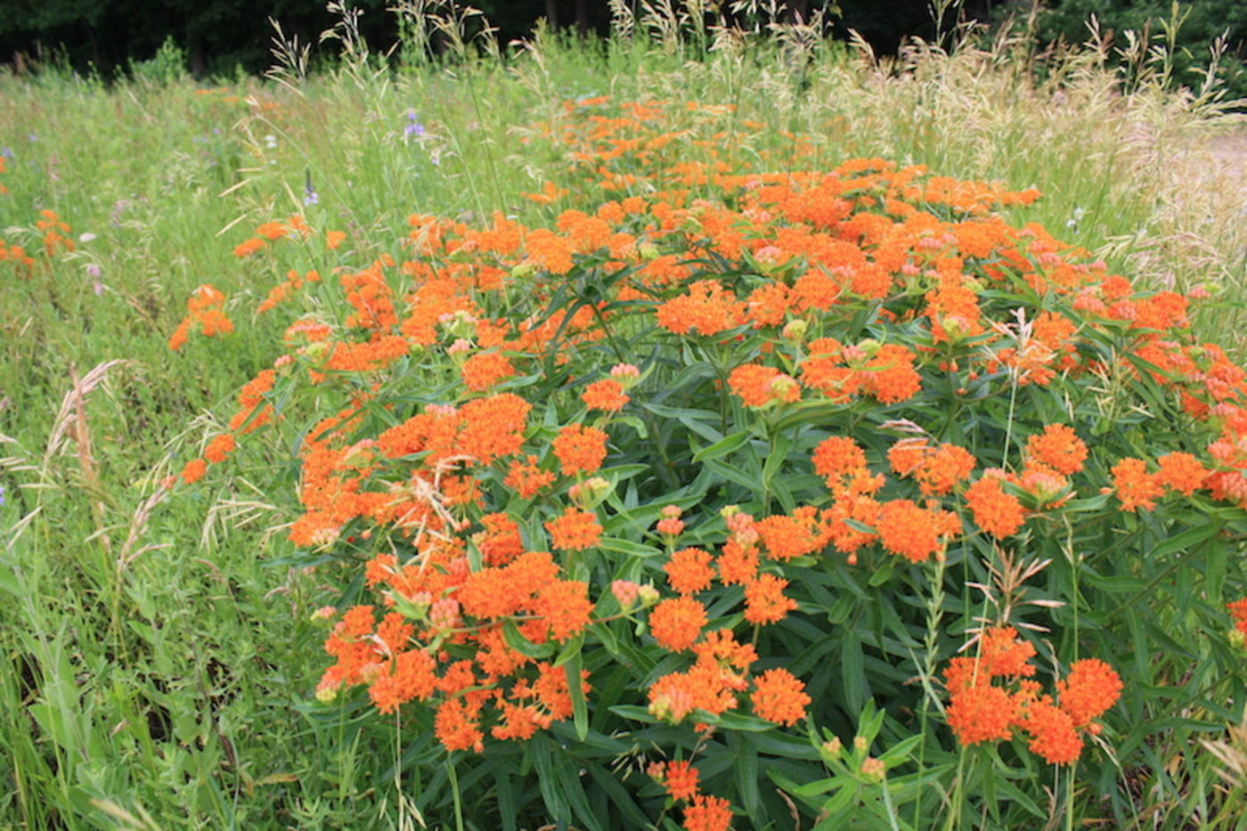 A large cluster of plants with tall stems topped by small orange flowers