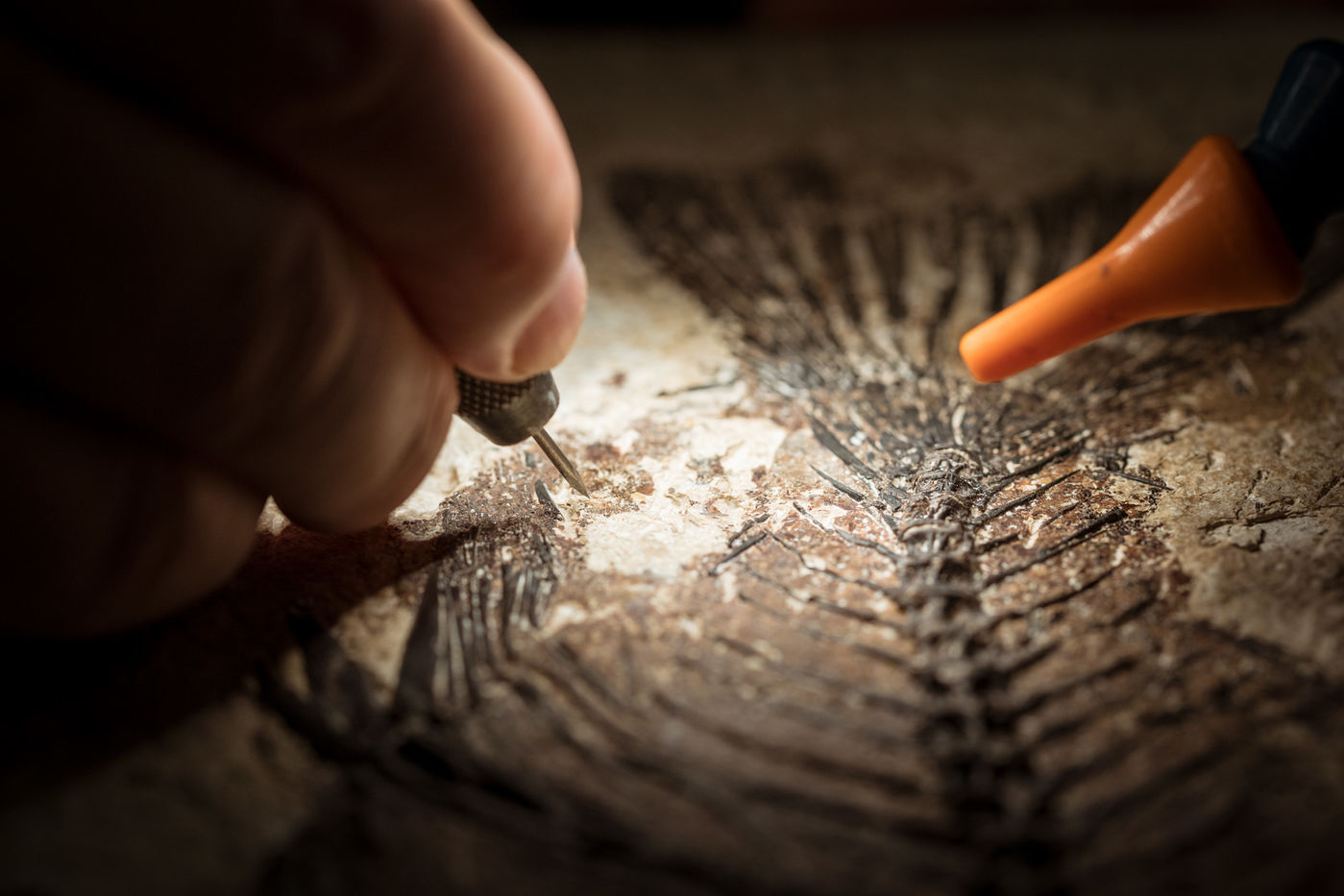 Close-up view of a preparator using a pin vise to carefully expose a 52-million-year-old fish.