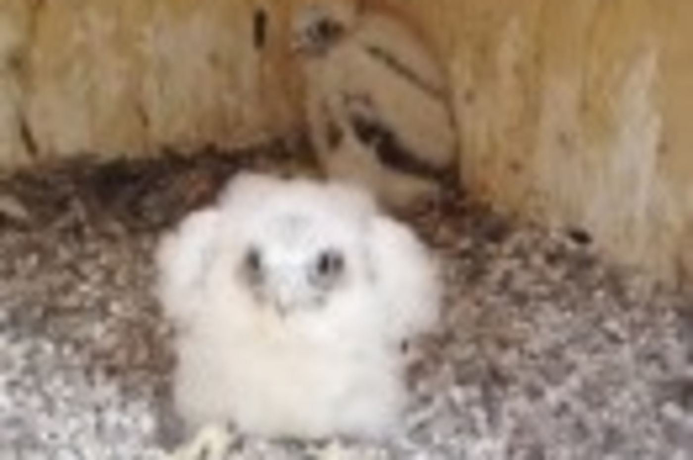 Peregrine chick near the Romeoville webcam.