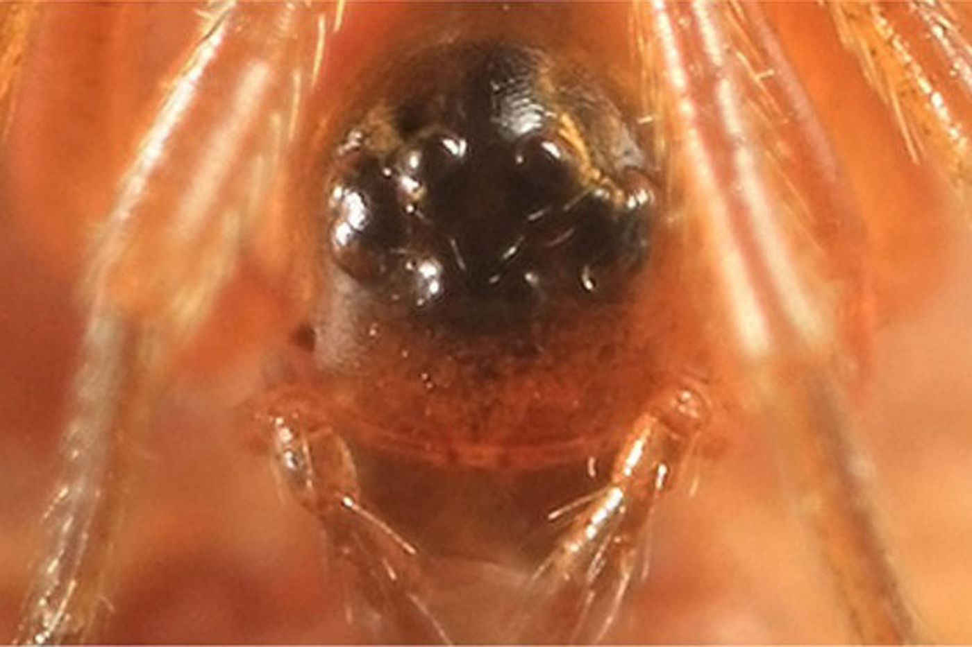 Face of a female Dwarf Spider.