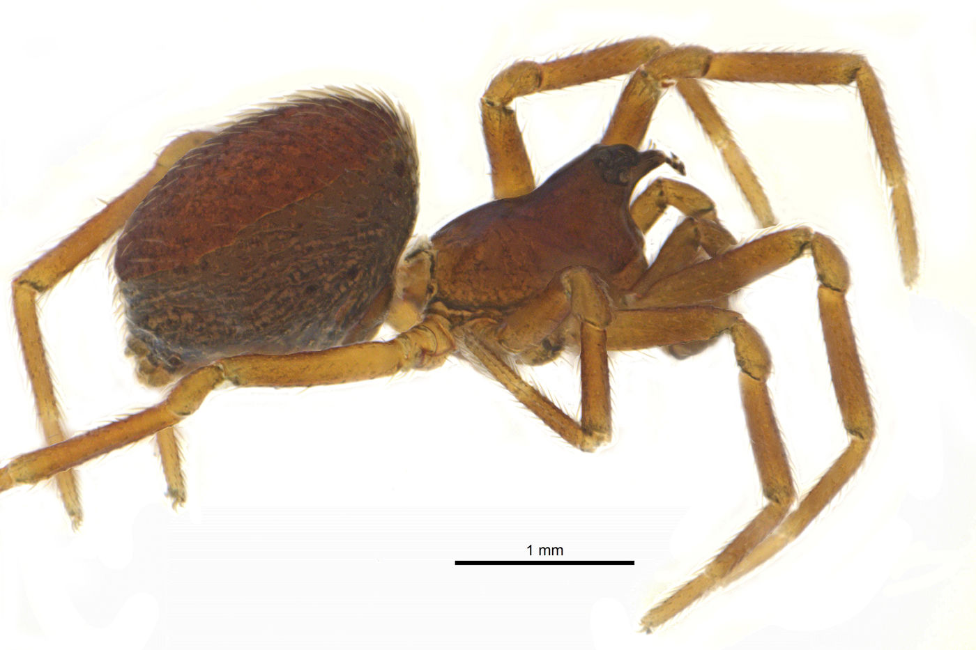 Full body of a male Dwarf Spider, Floricomus-rostratus.